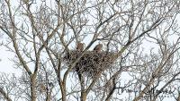 eagle-family